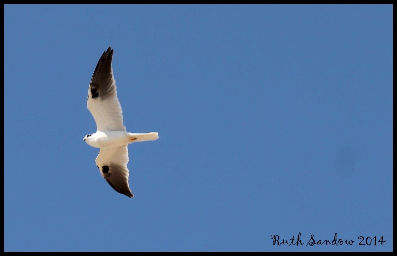 black shouldered kite_wm - Copy