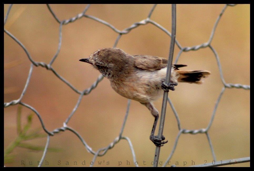 chestnut rumped thornbill_wm